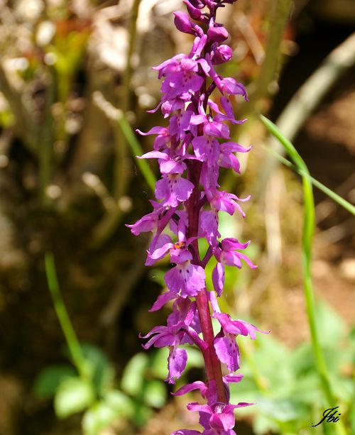 Orchis mâle   (Orchis mascula)