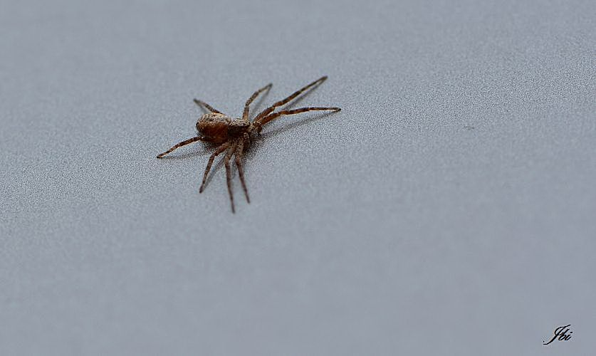 Philodromus sp. (possible Ph. aureolus)