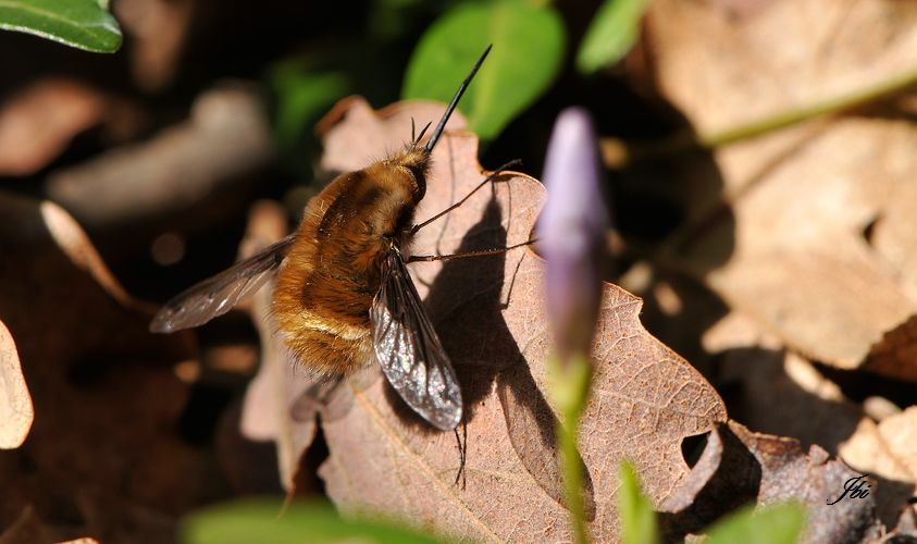 Grand bombyle  (Bombylius major)