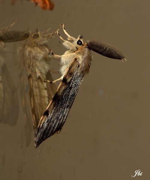 Bombyx disparate alias Spongieuse (Lymantria dispar)
