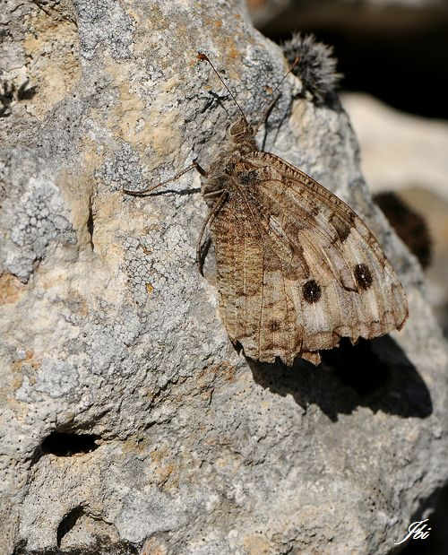 Agreste  (Hipparchia semele)