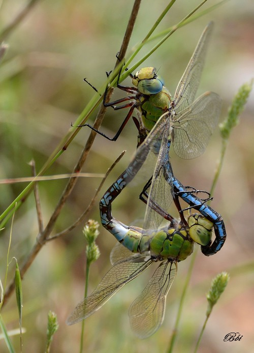 Anax empereur (Anax imperator)