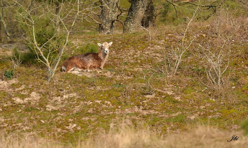 Mouflon occidental    (Ovis orientalis musimon)