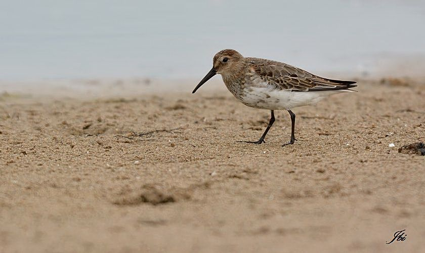 Bécasseau variable   (Calidris alpina)
