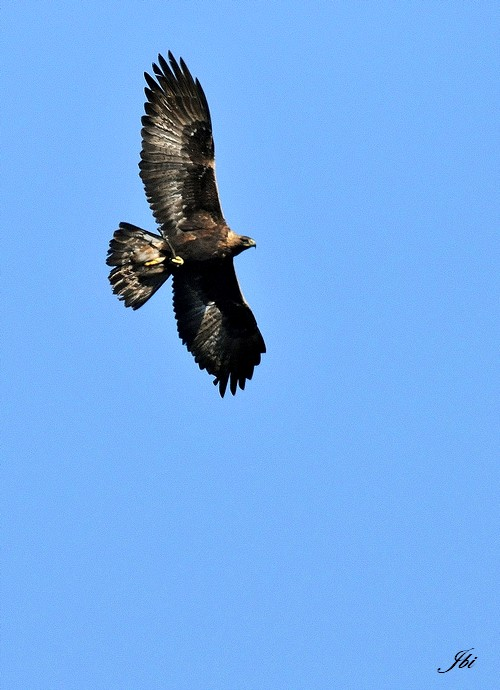 Aigle royal   (Aquila chrysaetos)