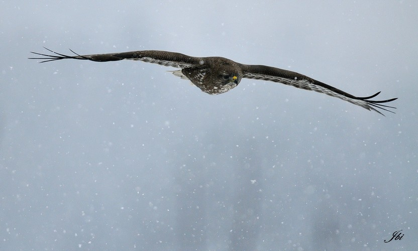 Buse variable (Buteo buteo)