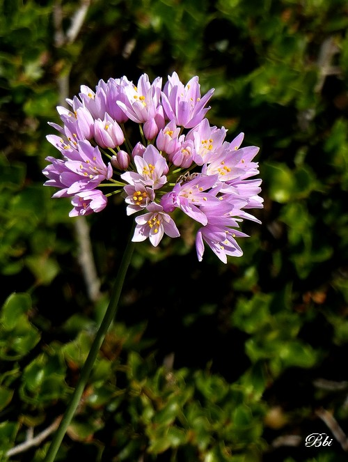 Ail rose   (Allium roseum)