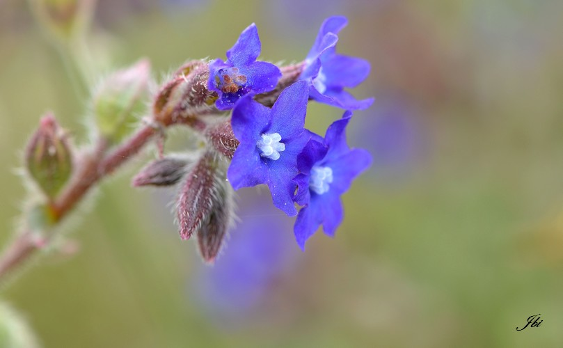 Buglosse officinale   (Anchusa officinalis)