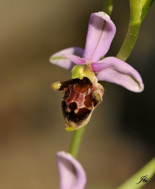 Ophrys fausse bécasse   (Ophrys pseudoscolopax)