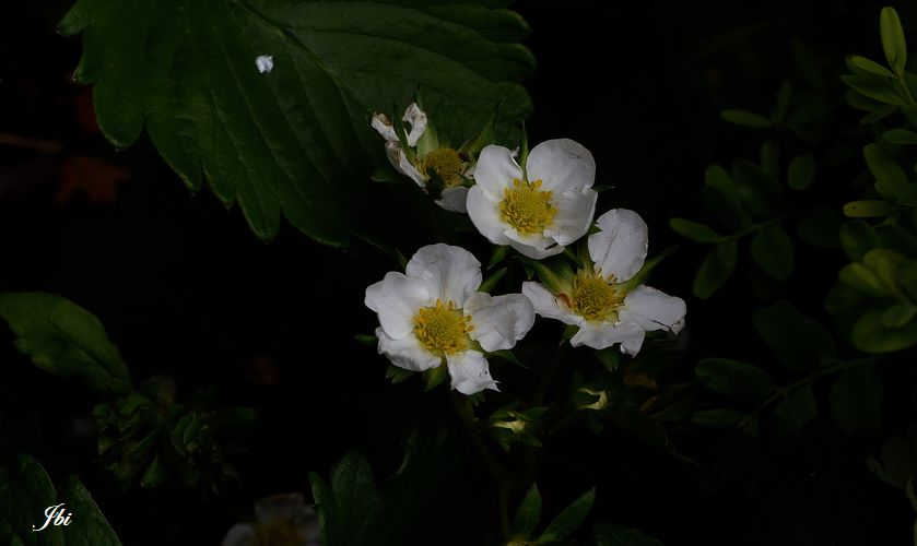 Fraisiers de culture (Fragaria sp.)